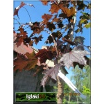 Acer platanoides Royal Red - Klon pospolity Royal Red ob. 8-10 PA _180-200cm C_30 _200-260cm