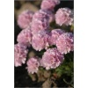 Armeria maritima Glory of Holland - Zawciąg nadmorski Glory of Holland - różowe, wys 15, kw 5/7 C0,5