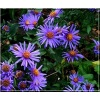 Aster amellus Blue King - Aster gawędka Blue King FOTO