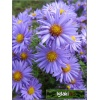 Aster dumosus Lady in Blue - Aster krzaczasty Lady in Blue - jasnoniebieski, wys 40, kw 9/10 C2 xxxy