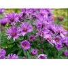 Aster novae-angliae Purple Dome - Aster nowoangielski Purple Dome - Aster amerykański Purple Dome - fioletowe, wys 50, kw 8/10 C0,5