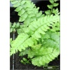 Athyrium niponicum Red Beauty - Wietlica japońska Red Beauty - Paproć - wys. 50 FOTO