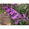 Buddleja davidii Border Beauty - Budleja Dawida Border Beauty - purpurowe C2 10-40cm