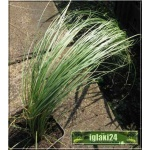 Carex comans Frosted Curls - Turzyca włosista Frosted Curls - wys. 30 C0,5