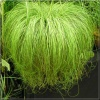 Carex comans Frosted Curls - Turzyca włosista Frosted Curls - wys. 30 C1,5