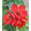 Chaenomeles superba Crimson and Gold - Pigwowiec pośredni Crimson and Gold - czerwone FOTO