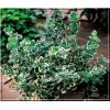 Euonymus fortunei Emerald Gaiety - Trzmielina Fortune\'a Emerald Gaiety FOTO