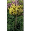Euonymus fortunei Emerald\'n Gold - Trzmielina Fortune\'a Emerald\'n Gold PA FOTO