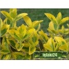 Euonymus fortunei Emerald\'n Gold - Trzmielina Fortune\'a Emerald\'n Gold FOTO