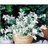 Euonymus fortunei Harlequin - Trzmielina Fortune\'a Harlequin FOTO