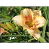 Hemerocallis Double Dream - Liliowiec Double Dream - żółty, wys. 50, kw 7/8 C1,5