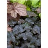 Heuchera Blackout - Żurawka Blackout - purpurowy, wys. 30-45, szer. 40-60 C0,5