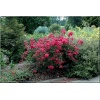 Lagerstroemia indica Red Fill - Lagerstremia indyjska Red Fill - czerwone FOTO
