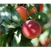 Prunus persica Harrow Beauty - Brzoskwinia Harrow Beauty FOTO
