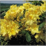 Rhododendron Golden Sunset - Azalea Golden Sunset - Azalia Golden Sunset - żółte C5 20-60cm