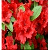 Rhododendron Hot Shot - Azalea Hot Shot - Azalia Hot Shot - czerwone FOTO