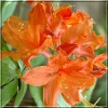 Rhododendron Hotspur Orange - Azalea Hotspur Orange - Azalia Hotspur Orange - pomarańczowe FOTO