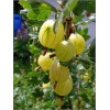 Ribes uva-crispa Citron - Agrest Citron FOTO