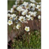 Saxifraga arendsii Butter Creme - Skalnica Arendsa Butter Creme - białe, wys 15, kw 5/6 FOTO
