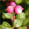 Symphoricarpos doorenbosii Magic Berry - Śnieguliczka doorenbosa Magic Berry FOTO