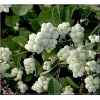 Symphoricarpos doorenbosii White Hedge - Śnieguliczka Doorenbosa White Hedge FOTO