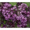 Syringa Bloomerang Dark Purple - Lilak Bloomerang Dark Purple - purpurowo-fioletowe FOTO