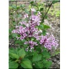 Syringa Bloomerang Purple - Lilak Bloomerang Purple - lila-lawendowe FOTO