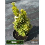 Taxus baccata David - Cis pospolity David C3 20-30cm