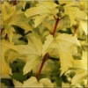 Viburnum opulus Anny's Magic Gold - Kalina koralowa Anny\'s Magic Gold - białe C2 30-40cm