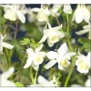 Aquilegia caerulea Spring Magic White - Orlik błękitny Spring Magic White - białe, wys. 30, kw. 6/8 C0,5