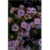 Aster ageratoides Harry Schmidt - Aster ageratoides Harry Schmidt FOTO