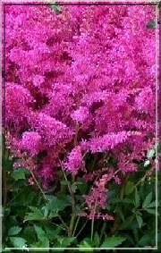 Astilbe Arendsii Younique Lilac - Tawułka Arendsa Younique Lilac - lilaróż, wys. 60, kw. 7/8 C0,5 P