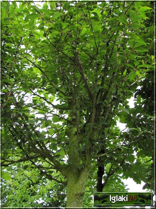 Prunus Hybrida Pandora